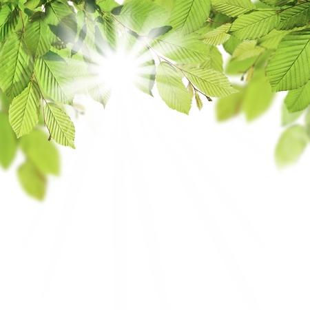 Hornbeam leaves with sunshine, isolated on white background photo