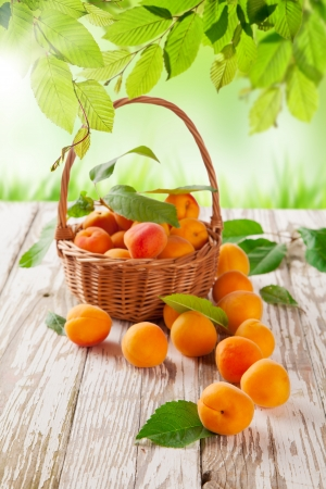 Fresh harvested apricots in basket Stock Photo