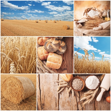 Concept of wheat cycle  Field, harvesting and products photo