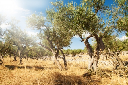 Mediterranean olive field with old olive trees photo