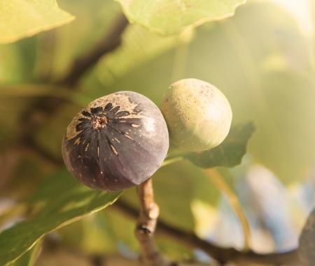 fig tree: Macro photo of figs on tree, low depth of focus