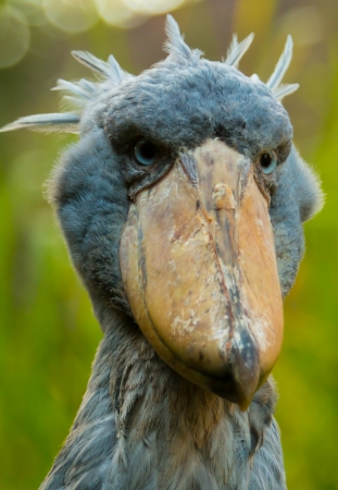 Retrato de shoebill con el fondo borroso photo