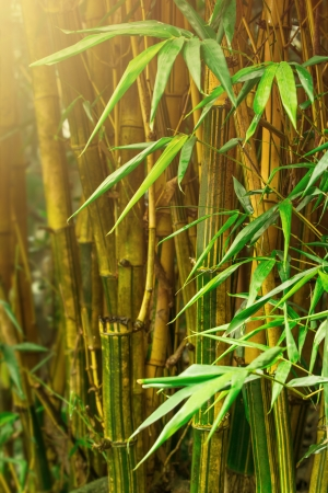 Bamboo trees in jungle with sunrays Stock Photo