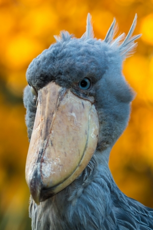 Portrait of shoebill with blur background photo