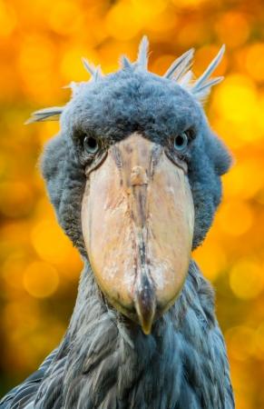 swap: Portrait of shoebill with blur background