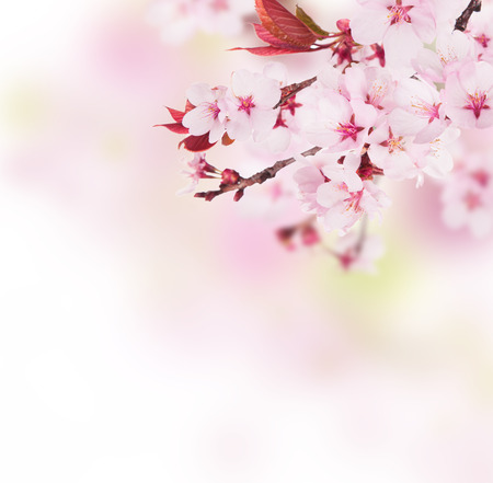 oriental: Detail of cherry blossoms with free space for text Stock Photo