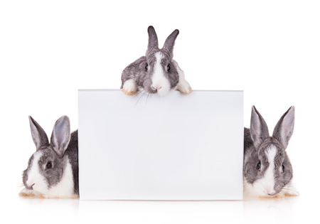 Studio shot of domestic rabbits on white background photo