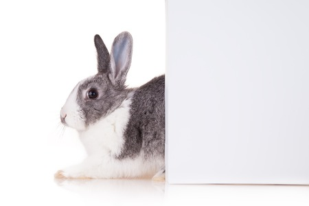 Studio shot of domestic rabbit on white background photo