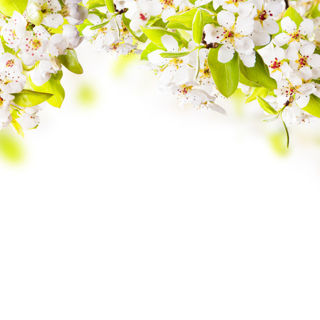fro: Spring border background with apple tree blossoms, isolated on white background  Free space fro text