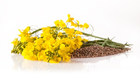 Isolated rape flower with blossoms on white Stock Photo