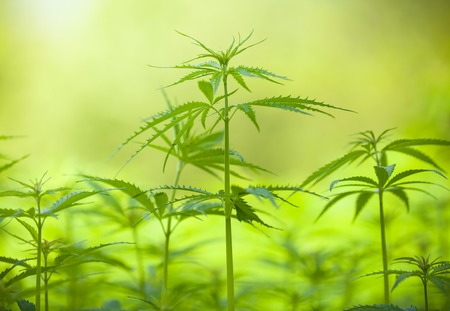 medicinal leaf: Detail of marihuana plant on field, low depth of focus Stock Photo