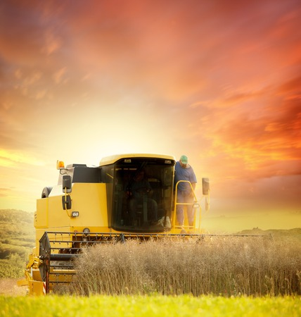 agriculture machinery: Combiner harvesting wheat field in sunset