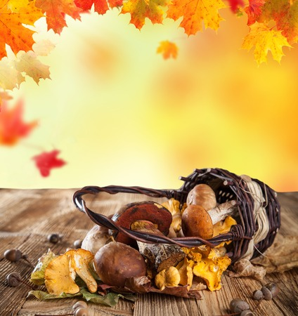 fall mushroom: Fresh chanterelles on wooden table with free space for text