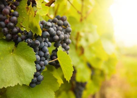 Macro photo of red wine grapes, low depth of focus photo
