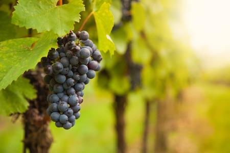 macro photo: Macro photo of red wine grapes, low depth of focus