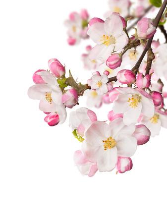 春の花の白い背景上。