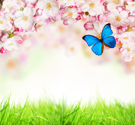 butterfly: Spring blossoms on white background. Free space for text.