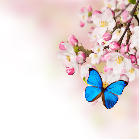 exotic butterflies: Spring blossoms on white background. Free space for text.