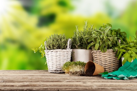 coriander: Various kinds of fresh herbs in flowerpots, placed on wooden table Stock Photo