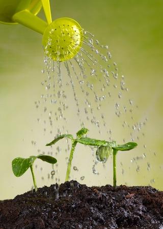 regando plantas: Regadera riego de las plantas j�venes en pila de suelo
