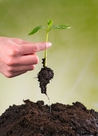 Woman hand seeding young plant into pile of soil