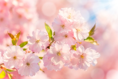 Spring blossoms Standard-Bild