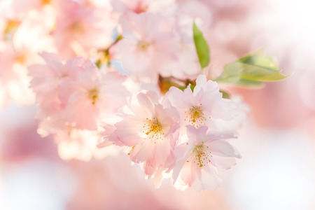 love tree: Spring blossoms Stock Photo
