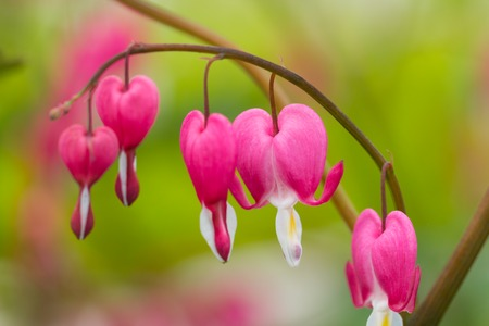 macro photo: Macro photo of hearted-shaped pink flower blossoms Stock Photo