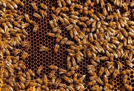 bee swarm: Detail af bees swarm working on honeycomb