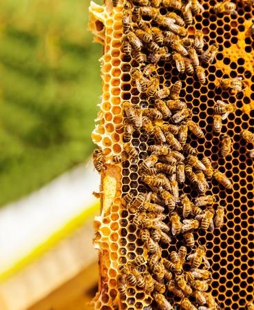 swarm: Detail af bees swarm working on honeycomb