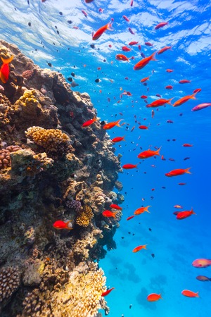 underwater life: Beautiful coral reef with fish in Red sea Stock Photo