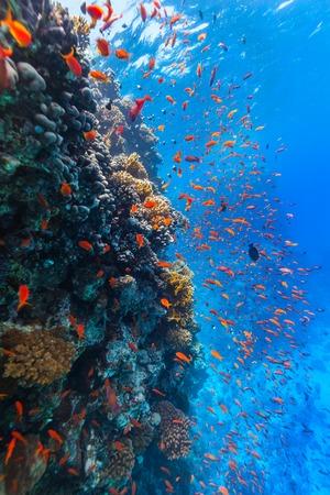 Beautiful coral reef with fish in Red sea Standard-Bild