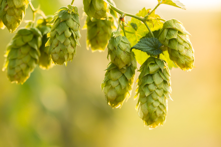depth of field: Macro photo of green hops. Shallow depth of field. Stock Photo