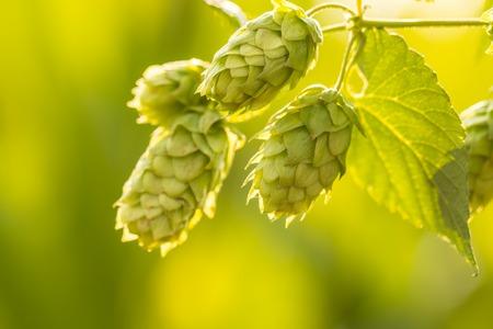 field depth: Macro photo of green hops. Shallow depth of field. Stock Photo