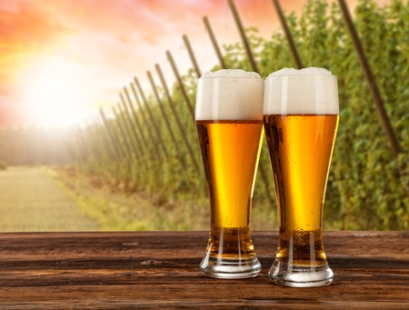 hopfield: Beer glasses served on wooden desk with hop-field on background