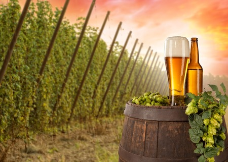hopfield: Beer glass served on wooden desk with keg. Hop-field on background Stock Photo