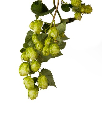 bitterness: Pile of green hop cones isolated on white background Stock Photo