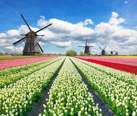 molinos de viento: campo de tulipanes vibrantes con molinos de viento holandeses, Países Bajos. Hermoso cielo nublado