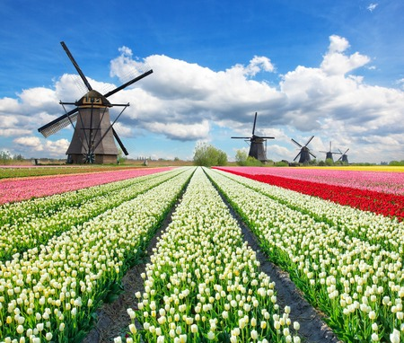 Vibrant tulips field with Dutch windmills, Netherlands. Beautiful cloudy sky Archivio Fotografico