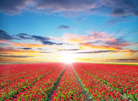 Beautiful colored tulips field in sunset, Netherlands