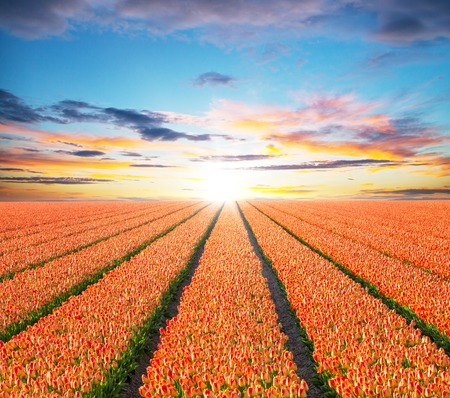 tulips field: Beautiful colored tulips field in sunset, Netherlands