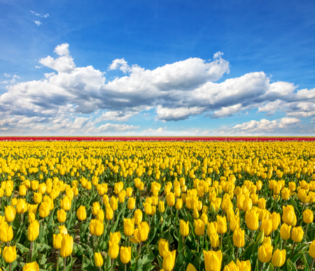 tulips field: Beautiful colored tulips field with cloudy sky, Netherlands Stock Photo