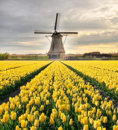 netherlands: Vibrant tulips field with Dutch windmill, Netherlands. Beautiful sunset sky