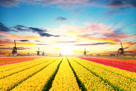 Vibrant tulips field with Dutch windmills, Netherlands. Beautiful sunset sky