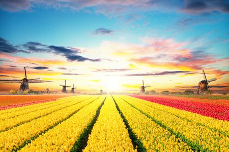 Leuchtende Tulpen Feld mit holländischen Windmühlen, Niederlande. Schöner Sonnenuntergang Himmel
