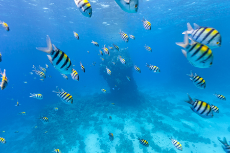 hardcoral: Shoal of tropical fish in Red Sea, Egypt