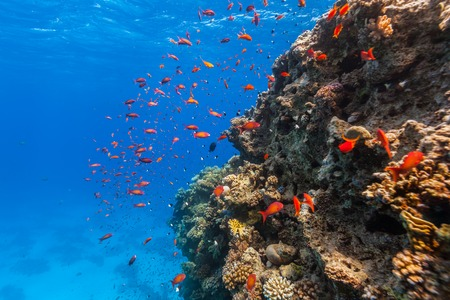 hardcoral: Coral reef and tropical fish in Red Sea, Egypt