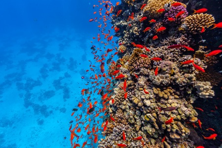 Coral reef and tropical fish in Red Sea, Egypt