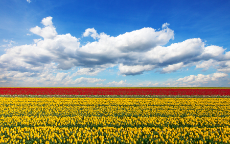 to thrive: Beautiful colored tulips field with beautiful blue cloudy sky