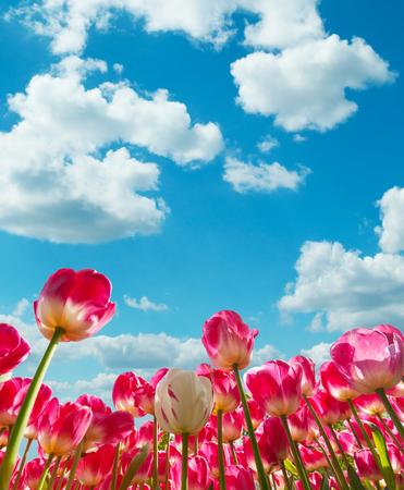 Mooi gekleurde tulpen veld met mooie blauwe bewolkte hemel